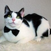 tuxedo-cat3